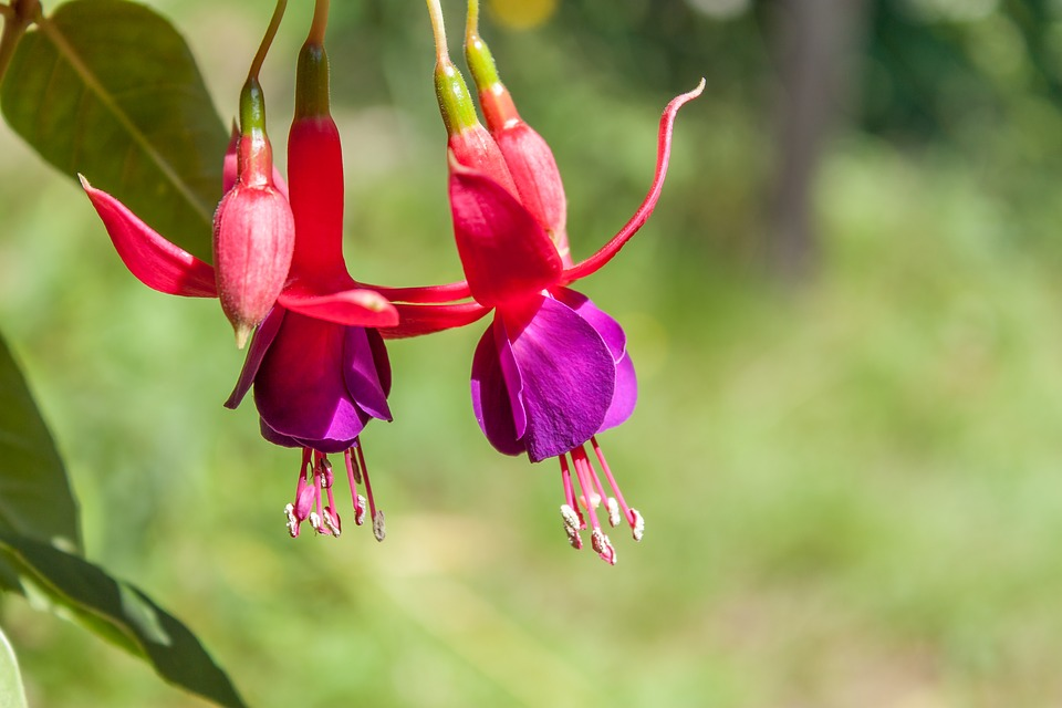 flower-fuchia